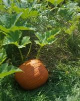 PumpkinPicking20193